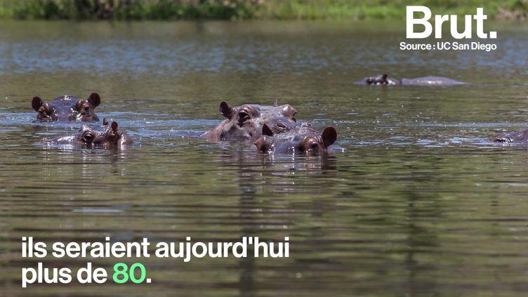 VIDEO. Des hippopotames sauvages, un héritage encombrant de Pablo Escobar (BRUT)