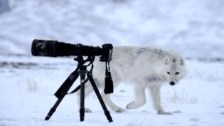 Vincent Munier a rencontré les loups blancs dans le Grand Nord  (Vincent Munier)