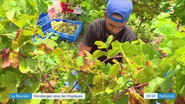 Viticulture : La Réunion commence les vendanges