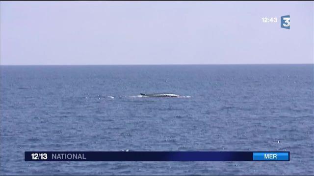 Méditerranée : à la rencontre des baleines dans le Var