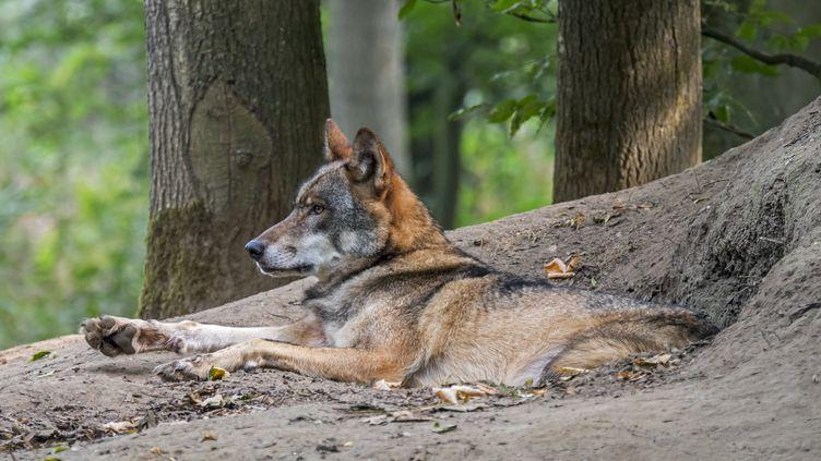Un loup devant sa tanière, le 23 septembre 2020. (MAXPPP)