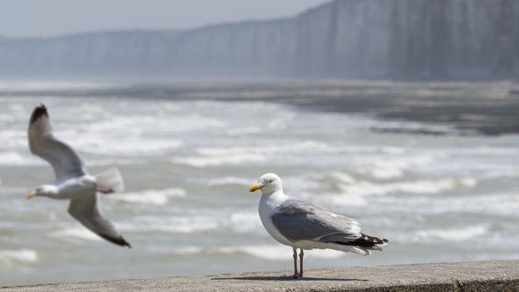 Un Goéland argenté perché sur une digue au bord de la Manche, le 27 juin 2019 en Normandie. (illustration) (PHILIPPE CL?MENT / MAXPPP)