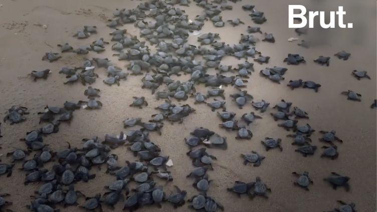 VIDEO. En Inde, l'heure du déconfinement a sonné pour des milliers de bébés tortues (BRUT)