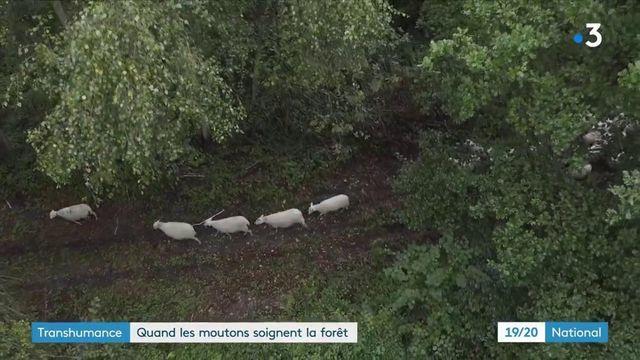 Transhumance : en Ile-de-France, les brebis soignent les champs et les forêts