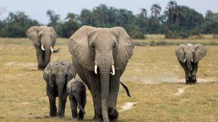 Des éléphants dans le parc d'Amboseli au Kenya, en août 2020. (DANIEL IRUNGU / EPA)