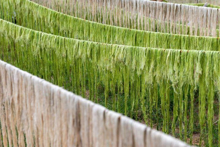 Des fibres d'ananas en train de sécher. Elles seront utilisées dans la fabrication de la fibre de Piñatex (Piñatex)