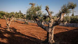 LaXylella fastidiosa a touché deux oliviers dans les Alpes-Maritimes, a indiqué vendredi 6 septembre le ministère de l'Agriculture. (AURELIEN MORISSARD / MAXPPP)