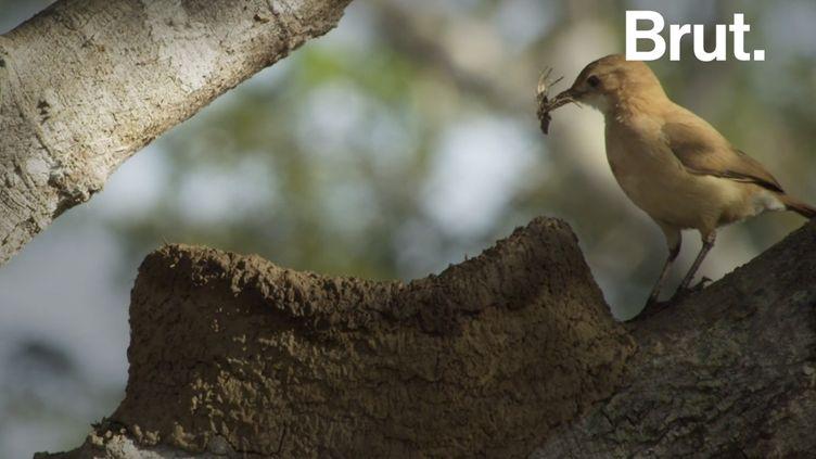 VIDEO. Les fourniers roux, de véritables oiseaux architectes (BRUT)