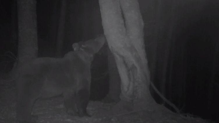 L'ourse Sorita, dans les Pyrénées, dans une vidéo diffusée en novembre 2019. (FIEP)