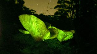 Champignon bioluminescent(Omphalotus nidiformis) en Australie, le 15 avril 2020. (LOUISE DOCKER SYDNEY AUSTRALIA / MOMENT RF / GETTY IMAGES)