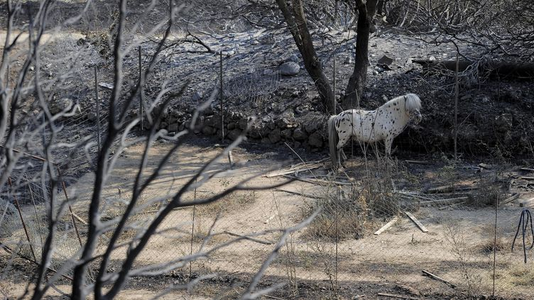 Un poney dans un lieu de désolation après les incendies de la Jonquière, la frontière franco-espagnole, le 23 juillet 2012 (JOSEP LAGO / AFP)