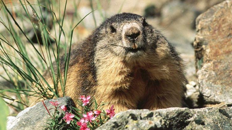 Quand la température est inférieure à 12°C, la marmotte descend dans son terrier pour hiberner pendant environ 6 mois. (AFP)