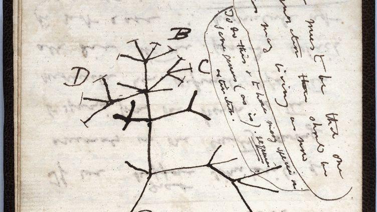 """Image extraite d'un document publié par l'Université de Cambridge le 24 novembre 2020 montrant le croquis de 1837 """"Arbre de la vie'' sur une page de l'un des cahiers perdus du scientifique britannique Charles Darwin. (AFP / UNIVERSITY OF CAMBRIDGE)"""
