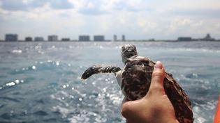Les animaux ont été relâchés au large de la Floride. Et il n'y avait pas que des bébés dans le lot. Sur ce cliché,Laurie Herrick, une spécialiste des tortues marines, s'apprêtent à remettre à l'eau une tortue largement plus grande que les autres. (JOE RAEDLE / GETTY IMAGES NORTH AMERICA / AFP)