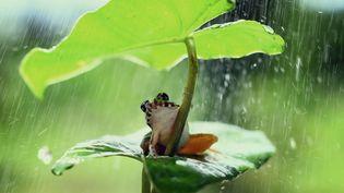 Une grenouille s'abrite de la pluie sous une plante tropicale dans la jungle de Bornéo (Indonésie), le 9 mai 2014. (MUHAMMAD RIDHA / SOLENT NEWS / SIPA)
