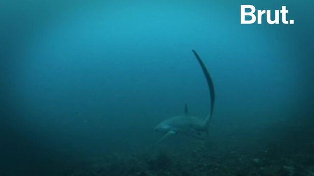 Pour chasser ses proies, il les assomme avec sa queue gigantesque. C'est le requin-renard.
