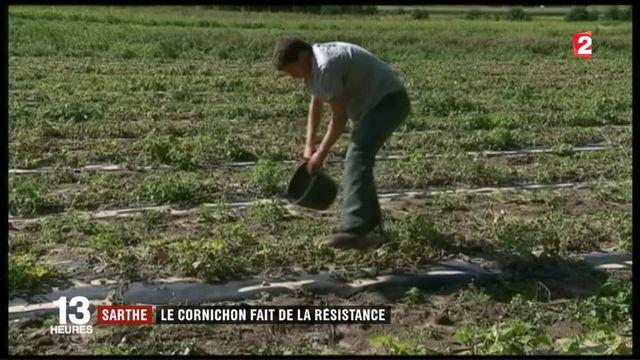 Sarthe : le cornichon français fait de la résistance