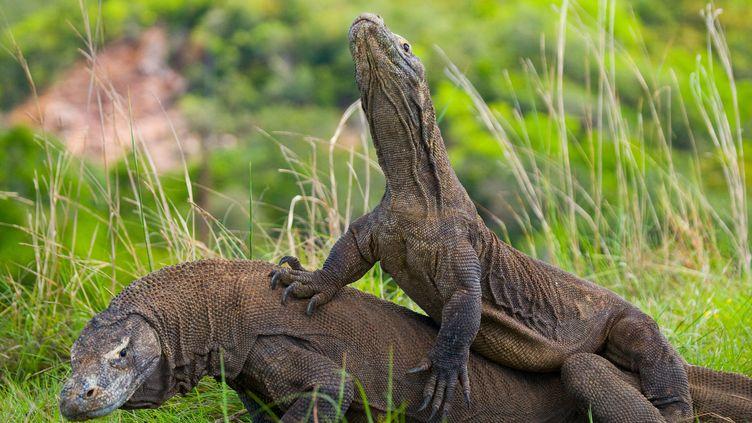 """Les célèbres dragons de Komodo, dont les conditions de vie sont menacées par le changement climatique, ont été classés """"en danger"""" sur la Liste rouge de l'UICN. (ANDREY GUDKOV / BIOSPHOTO / AFP)"""