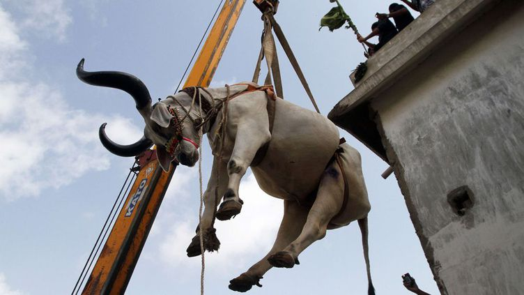 Zébus et moutons sont ainsi livrés pour éviter les terribles embouteillages de la capitale économique pakistanaise. Chaque famille qui en a les moyens doit sacrifier un animal pour commémorer le sacrifice d'Abraham. La viande sera partagée en famille et distribuée aux pauvres.Tous les moyens sont bons pour livrer en temps et en heure les animaux de l'aïd el Kébir. (Sipa/Ap/ Fareed Khan - Septembre 2016)