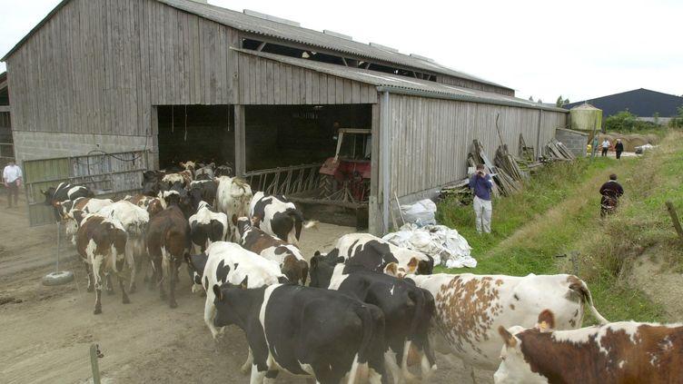 Des bovins conduits à l'abattoir de Saint-Hilaire du Harcouët (Manche), en août 2000, après la découverte d'un animal atteint de la maladie de la vache folle. (MYCHELE DANIAU / AFP)