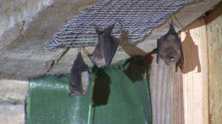 Des chauves-souris ont trouvé refuge dans la grange spécialement amenagé d'un particulier (France 3 Bourgogne Franche-Comté)