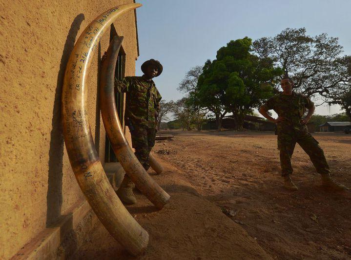 Des défenses d'éléphants confisquées aux braconniers. Parc national de la Garamba en République Démocratique du Congo. (Photo AFP/Tony Karumba)