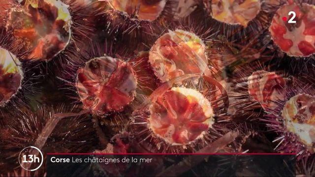 Haute-Corse : à la pêche aux oursins, les célèbres châtaignes de la mer