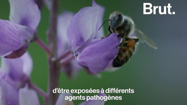 Mesures d'hygiène, distanciation sociale… Les abeilles aussi s'organisent face à la propagation de maladies.