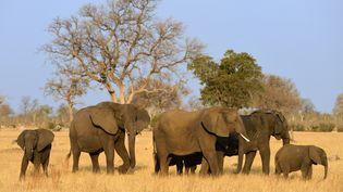 Un groupe d'éléphants dans le parc national Hwange, au Zimbabwe, le 24 septembre 2015. (RIEGER BERTRAND / HEMIS.FR / AFP)