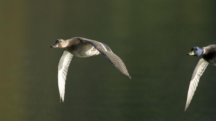 Un premier cas de grippe aviaire sur 20 canards sauvage dans le Pas-de-Calais a étéconfirmé par le ministère de l'Agriculture. (FRANCOIS GILSON / PHOTONONSTOP)