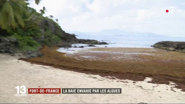 Environnement : les sargasses envahissent les Antilles et plombent le tourisme