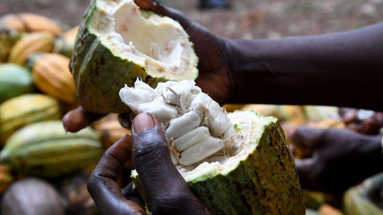 Une agricultrice ouvrant une cabosse de cacao près d'Adzope, dans le sud de la Côte d'Ivoire, premier producteur mondial. Photo prise le 17 avril 2019. (ISSOUF SANOGO / AFP)