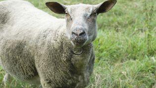 Un foyer de fièvre catarrhale ovine (FCO) ou maladie de la langue bleue, a été identifié dans l'Allier. (  MAXPPP)