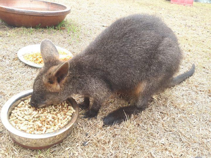 Des volontaires de l'association Wires recueillent des animaux blessés par les incendies pour les soigner. Ici, un kangourou, dans le parc national de Meringo (Nouvelle-Galles-du-Sud), le 7 janvier 2020. (GAËLE JOLY / FRANCE-INFO)