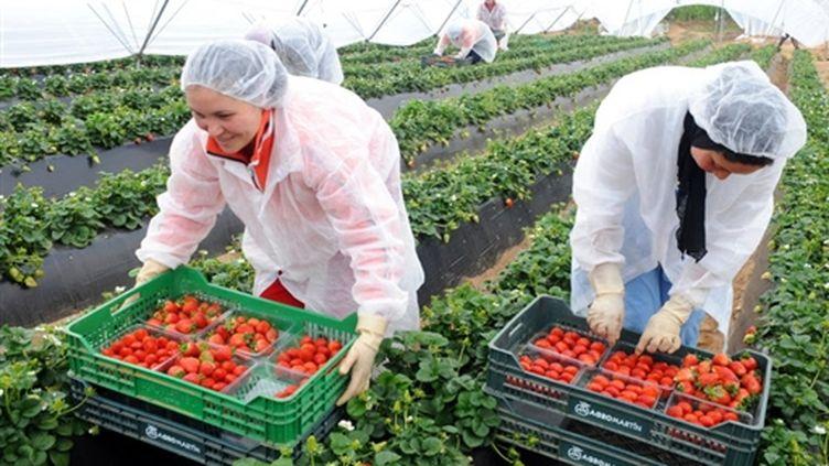 Travailleurs saisonniers en train de récolter des fraises à Lepe (sud de l'Espagne) le 7 mars 2009 (AFP PHOTO ABDELHAK SENNA)