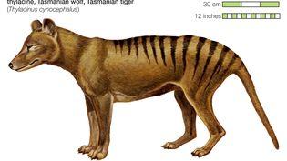 Tigre de Tasmanie. Représentation. (ENCYCLOPAEDIA BRITANNICA / UNIVERSAL IMAGES GROUP EDITORIAL)