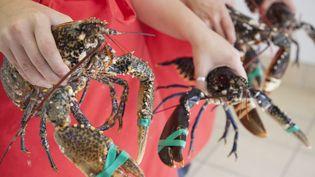 """Une pétition en ligne a recueilli 29 000 signatures pour interdire la représentation d'""""Accidens"""", pièce de théâtre dans laquelle un homard est découpé vivant avant d'être mangé (photo d'illustration). (AXEL BERNSTORFF / CULTURA CREATIVE / AFP)"""