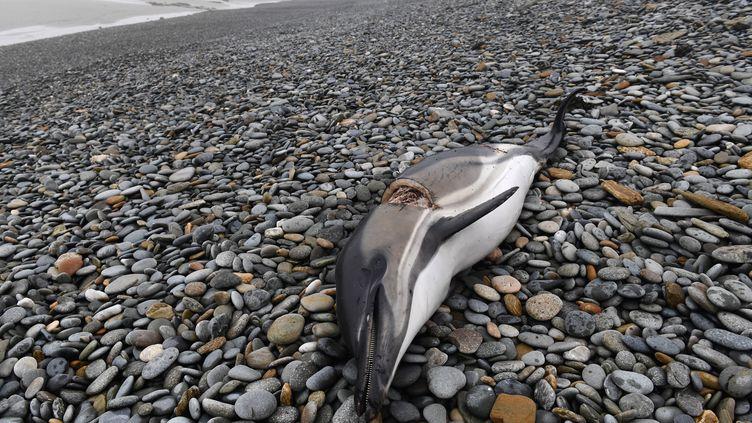 Un dauphin échoué sur la plage de Plovan (Finistère), le 30 janvier 2020. (FRED TANNEAU / AFP)