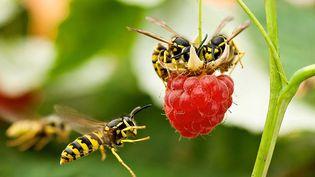 Des abeilles prisent en flagrant délit de gourmandise sur une framboise en Russie, le 24 septembre 2012. (KOZOROG / CATERS NEWS AGENCY / SIPA)