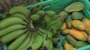 En Sicile (Italie), le réchauffement climatique a des conséquences plutôt inattendues du côté de l'agriculture. Désormais, on y produit des fruits exotiques. (FRANCE 2)