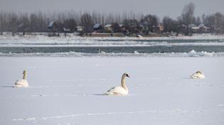 Les cygnes sur la glace qui recouvre le Danube à Belgrade le 10 janvier 2017 (ANDREJ ISAKOVIC / AFP)