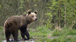 Un ours en Roumanie le 4 mai 2016 (illustration) (JOANNE HEDGER / GETTY IMAGES)