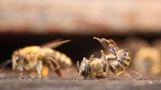En l'espace de vingt-cinq ans, la moitié des abeilles ont disparu. (PAUL-ANDRÉ COUMES / BIOSPHOTO)