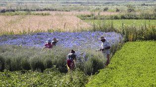 Des producteurs de plantes médicinales récoltent des bleuets dans le sud de l'Albanie, en juillet 2019. (GENT SHKULLAKU / AFP)