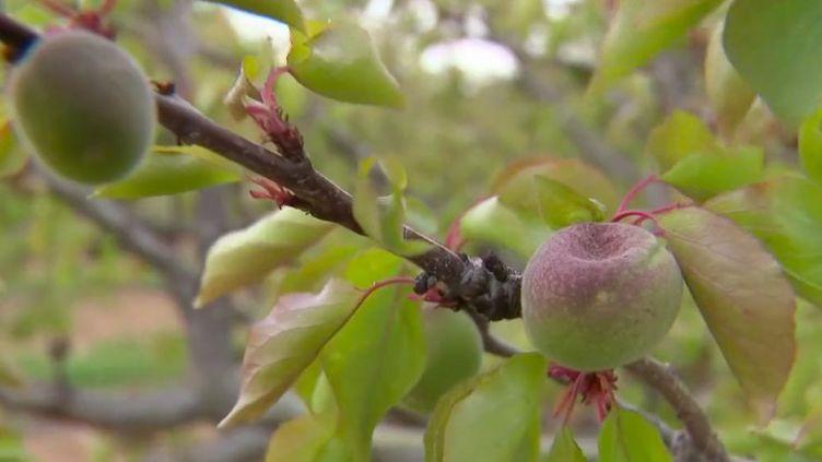 Les cultures d'abricots et de cerises dans le Gard ont été sérieusement touchées par une gelée historique,la deuxième semaine du mois d'avril.La situation est catastrophique : près de la moitié du chiffre d'affaires des agriculteurs serait perdu. (FRANCE 3)