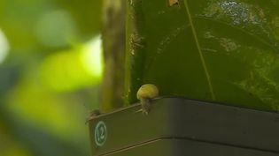 Les escargots Partula, espèce endémique de Polynésie française, sont de retour dans leur milieu naturel. Une opération de sauvetage avait été lancée. Pendant trente ans, le zoo de Londres (Royaume-Uni) en a élevés en captivité. Ils ont été relâchés sur l'île de Huahine. (CAPTURE ECRAN FRANCE 2)
