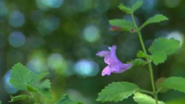 La Fleur d'Aubrac se décline en infusion mais aussi en sucrerie ou produit cosmétique. (FRANCE 3)