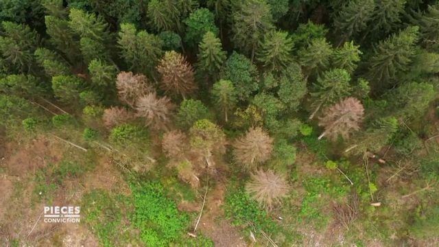Pièces à conviction. Réchauffement climatique : les épicéas du Morvan décimés par la sécheresse et les invasions de scolyte.mp4