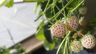 Des fraises blanches, cultivées à Puget-sur-Argens (Var),le 4 juin 2013. (PHILIPPE ARNASSAN / MAXPPP)