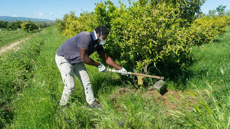 Un migrant au travail en Calabre, dans le sud de l'Italie, porte un masque pour se protéger de l'infection du coronavirus. L'agriculture italienne connaît de nombreuses difficultésface au manquede travailleurs pour récolter les fruits et légumes. (ALFONSO DI VINCENZO / IPA / MAXPPP)
